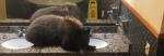 หมีก็ยังอยากใช้ห้องน้ำล๊อบบี้โรงแรม แต่สุดท้ายโดนยิงยาสลบ(มีคลิป)