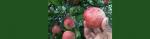 ฝันพยายามเอื้อมมือเก็บแอปเปิ้ล