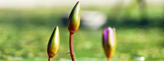 [ทำนายฝัน-ตัวเลข] ฝันเห็นดอกไม้ยังไม่บาน,ฝันเห็นดอกไม้ตูม