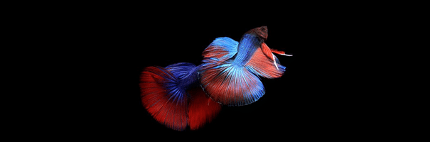 [ทำนายฝัน-ตัวเลข] ฝันเห็นปลากัดสองตัว,ฝันเห็นปลากัด 2 ตัว
