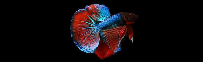 [ทำนายฝัน-ตัวเลข] ฝันเห็นปลากัด