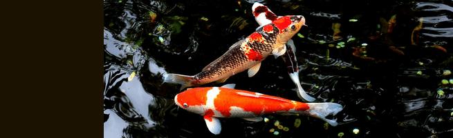 [ทำนายฝัน-ตัวเลข] ฝันเห็นปลาคาร์พ