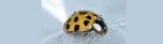 [ทำนายฝัน-ตัวเลข] ฝันเห็นแมลงเต่าทอง