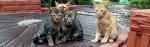 [ทำนายฝัน-ตัวเลข] ฝันเห็นแมวที่เหมือนกันสองตัว,ฝันเห็นแมวฝาแฝด