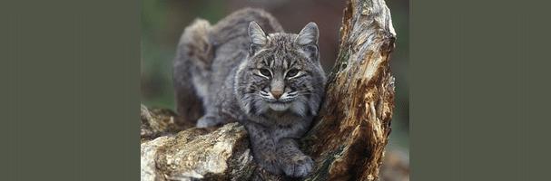 [ทำนายฝัน-ตัวเลข] ฝันเห็นแมวป่า