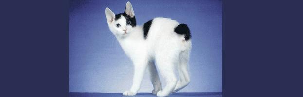[ทำนายฝัน-ตัวเลข] ฝันเห็นแมวหางกุด,ฝันเห็นแมวหางด้วน