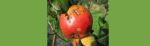 [ทำนายฝัน-ตัวเลข] ฝันเห็นแอปเปิ้ลเน่า,ฝันว่าได้กินแอปเปิ้ลเน่า