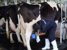 ฝันว่าคุณกำลังรีดนมวัว , ฝันเห็นคนกำลังรีดนมวัว
