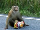 ฝันว่าคุณกำลังให้อาหารลิง
