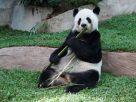 ฝันห็นหมีแพนด้า