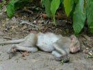 ฝันเห็นลิงตาย