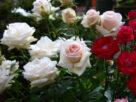 ฝันเห็นดอกกุหลาบ